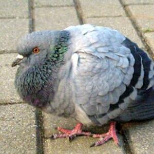 rare-닭둘기
